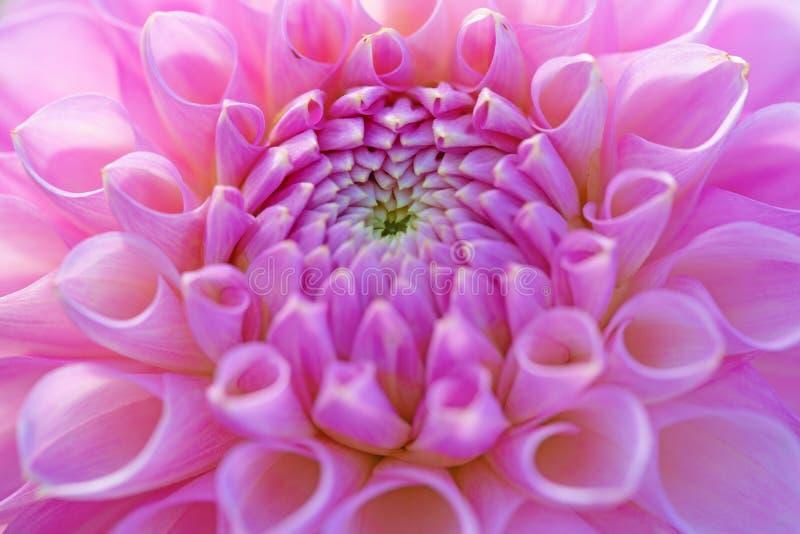 Kwiat dahlii zdjęcia royalty free