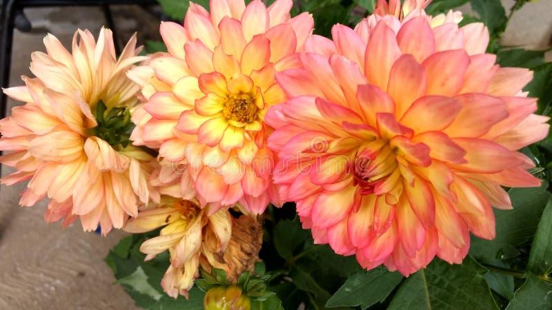 Kwiat Dalia obrazy royalty free