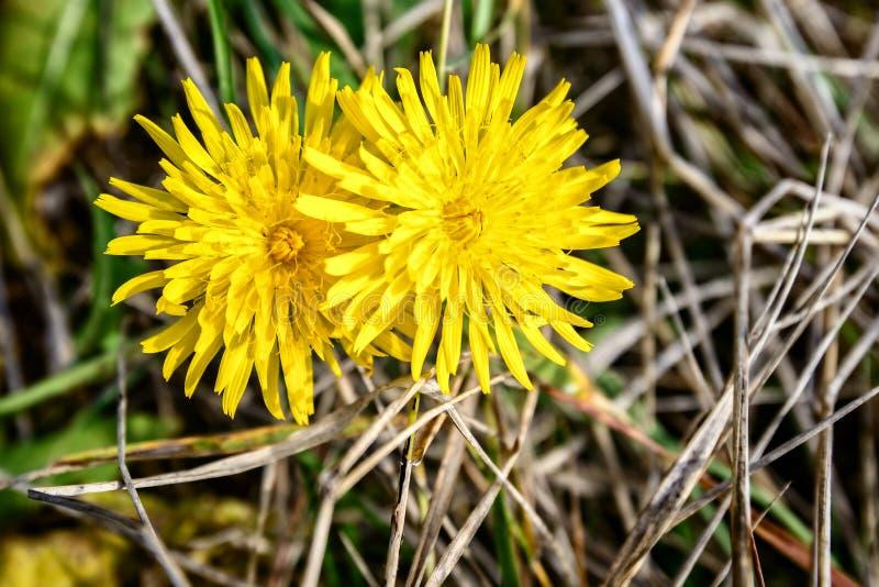 Kwiat dandelion jest bardzo jednakowy słońce zdjęcie stock