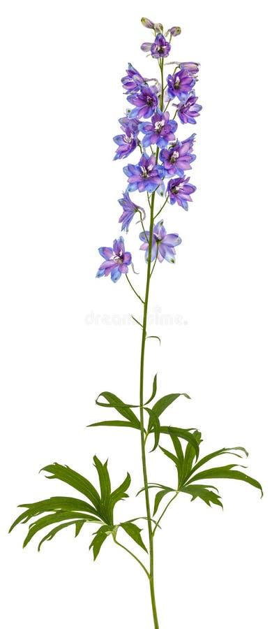 Kwiat Delphinium Larkspur, odizolowywający na białym tle fotografia royalty free