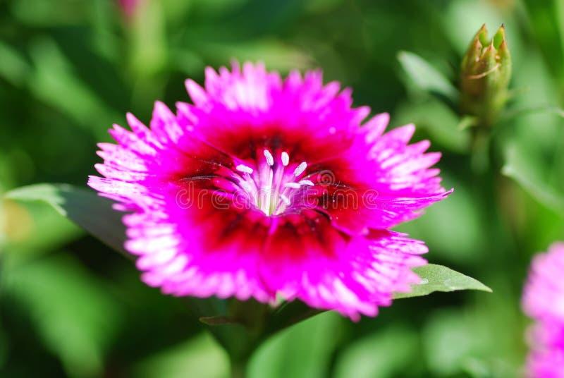 Download Kwiat dianthus kwiat zdjęcie stock. Obraz złożonej z zakończenie - 13341436