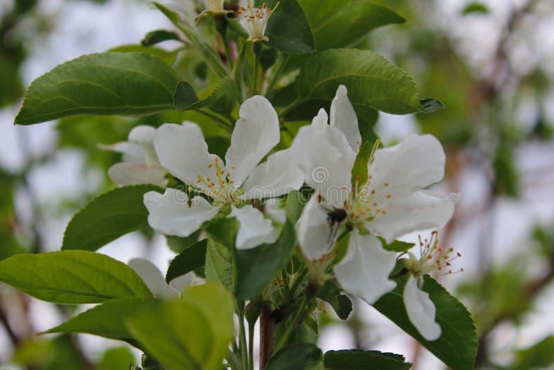 Kwiat, drzewo, wiosna, biel, okwitnięcie, natura, zieleń, roślina, ogród, kwiaty, kwiat, gałąź, jabłko, wiśnia, makro-, kwitnieni obrazy stock