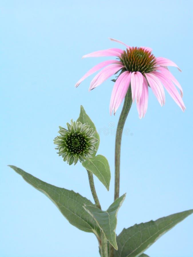 kwiat echinacea obrazy stock