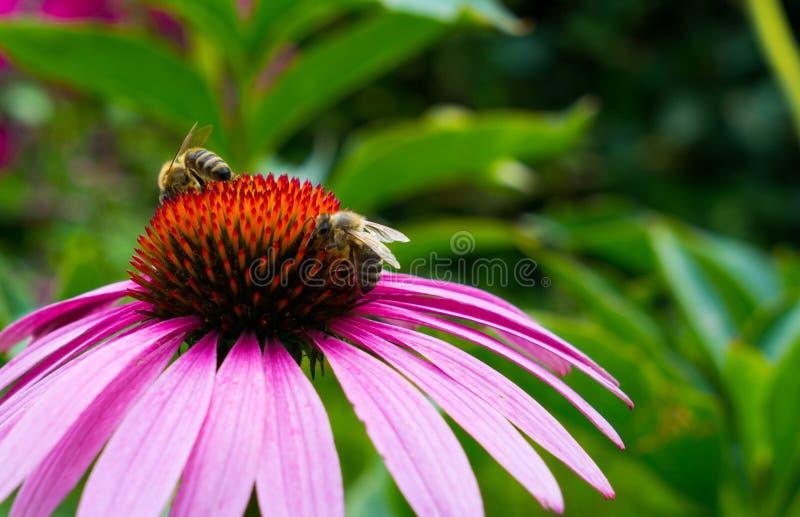 Kwiat echinacea na którym zbierają nektar pszczoły fotografia royalty free