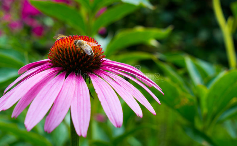 Kwiat echinacea na którym zbierają nektar pszczoły zdjęcie stock