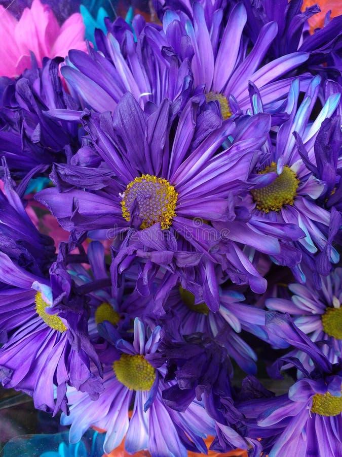 Kwiat Farbować purpury, Wibrujący bukiet fiołki Barwiący kwiaty zdjęcia stock