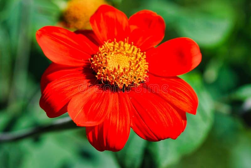kwiat, flora, kolor żółty, wildflower, płatek, zakończenie up, roślina zdjęcie stock