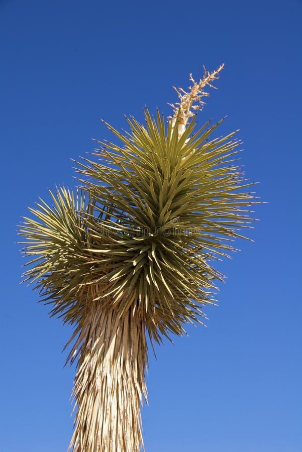 kwiat folujący Joshua drzewo fotografia royalty free