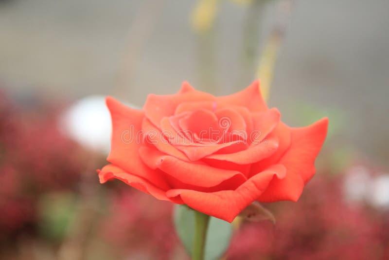 Kwiat fotografie w ogródzie obrazy stock