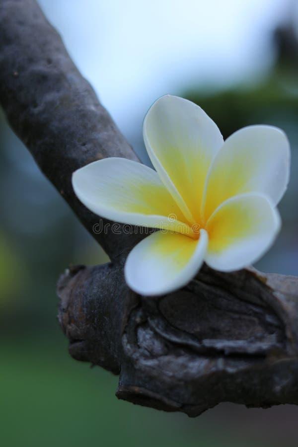 Kwiat - frangipanier zdjęcia royalty free