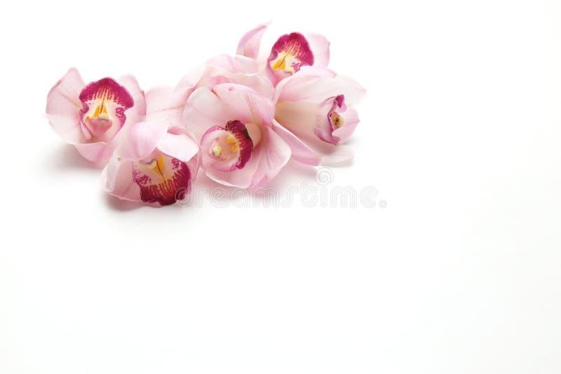 Kwiat głowa cymbidium w białym tle zdjęcie stock