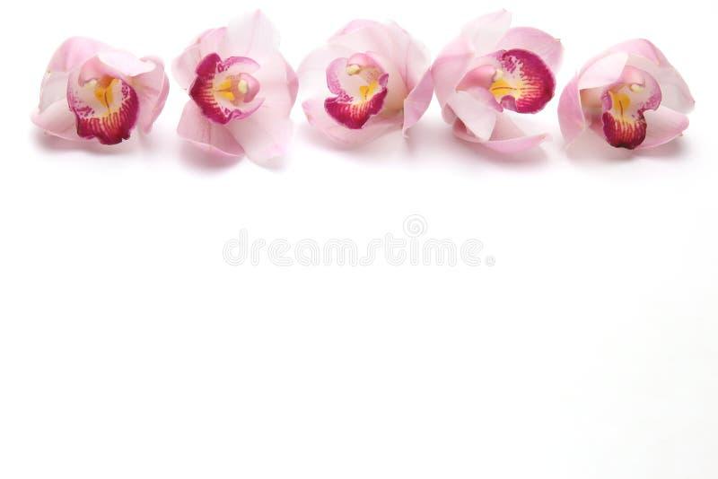 Kwiat głowa cymbidium w białym tle zdjęcia royalty free