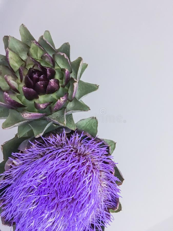 Kwiat głowa karczoch na szarym tle zdjęcia royalty free