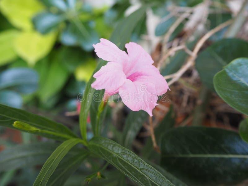 kwiat głębokie menchie obraz stock