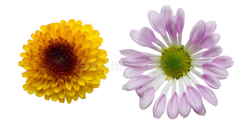 Kwiat głowa chryzantema zdjęcie royalty free