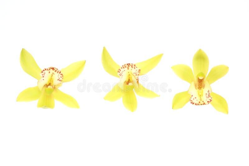 Kwiat głowa cymbidium w białym tle fotografia stock