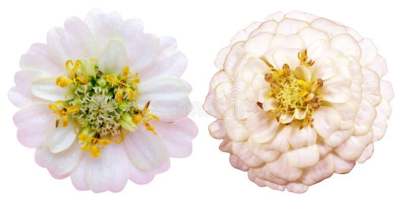 Kwiat głowa cynie zdjęcia stock