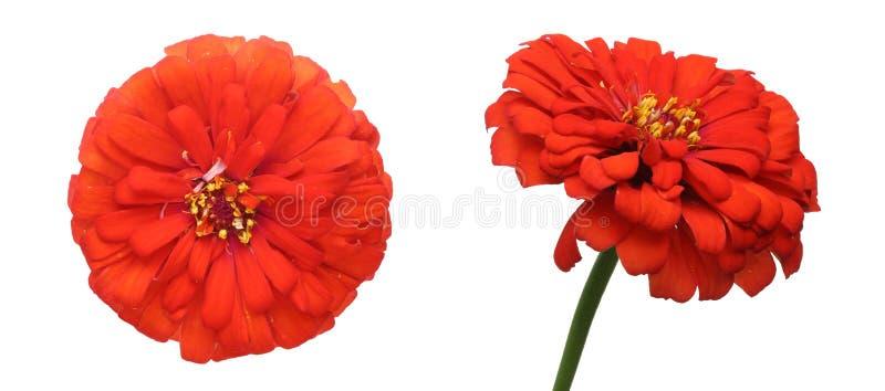 Kwiat głowa cynie zdjęcie royalty free
