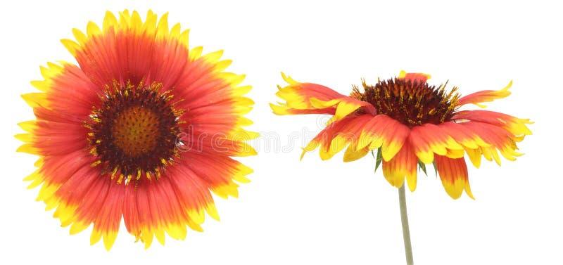 Kwiat głowa Firewheel zdjęcie stock
