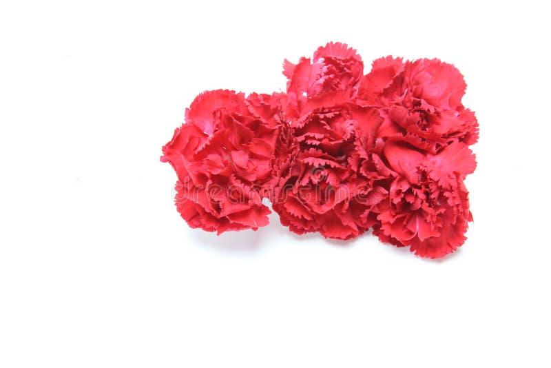 Kwiat głowa goździk zdjęcia royalty free