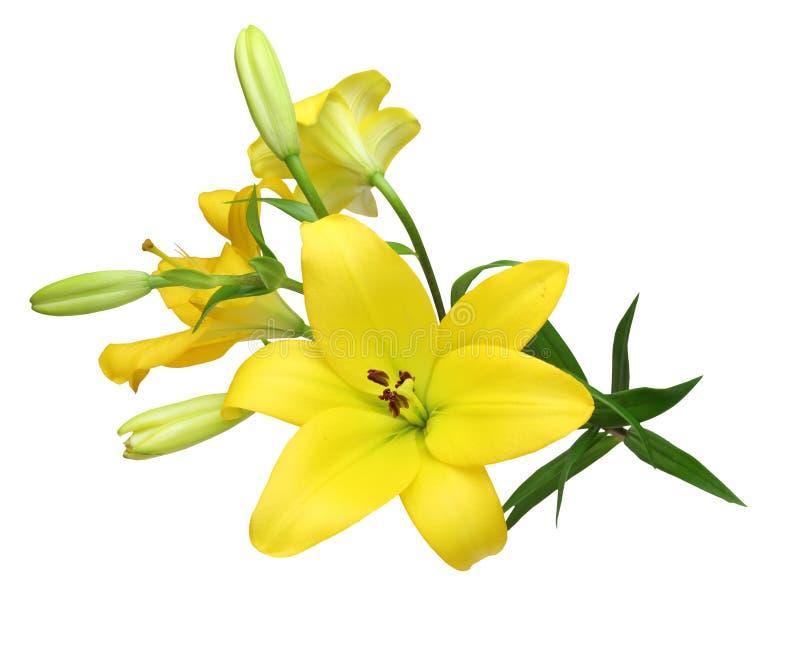 Kwiat głowa leluja obraz royalty free