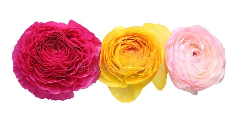 Kwiat głowa Perski jaskier fotografia royalty free