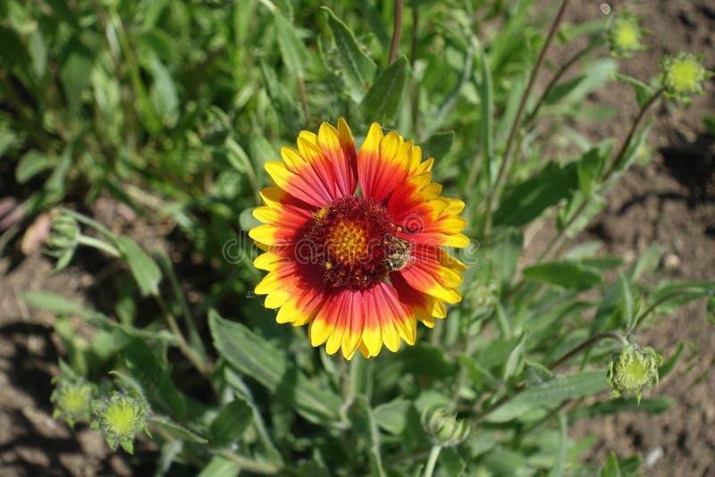 Kwiat głowa z centrum purpurowi dysków florets i kranem promieni florets fotografia royalty free
