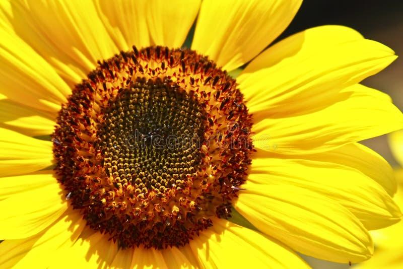 kwiat głowy słońce obraz royalty free