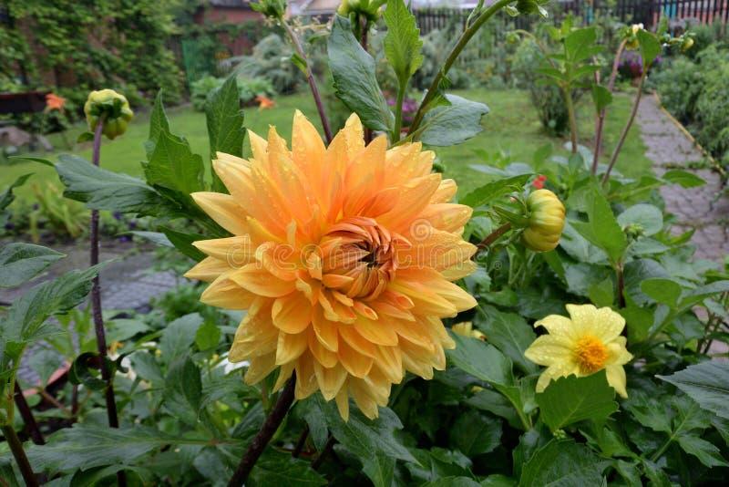 Kwiat Georgina w ogródzie obraz stock