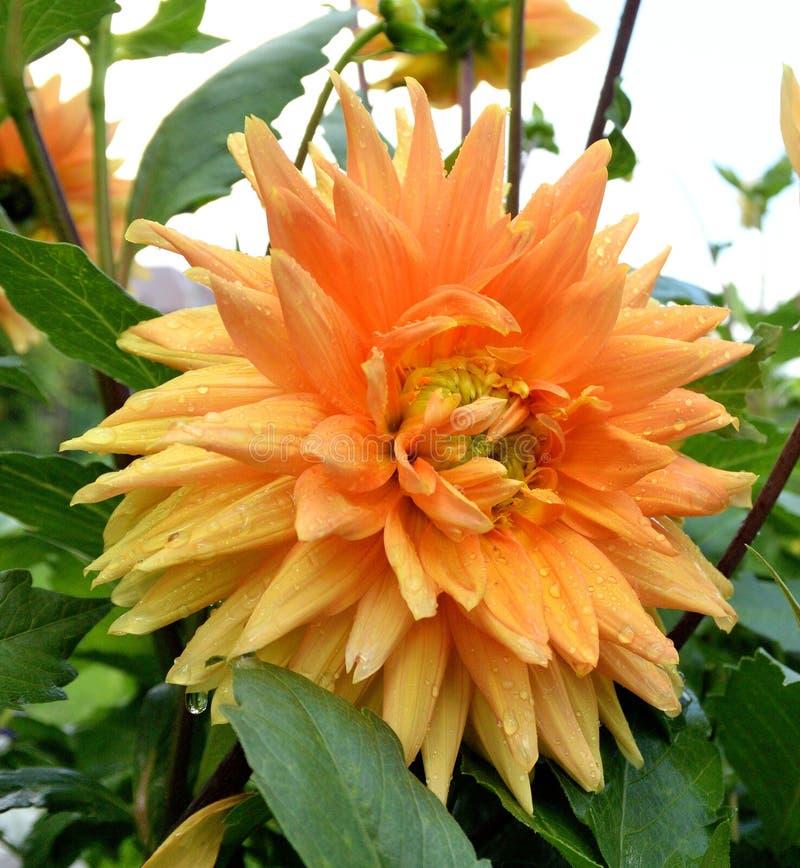 Kwiat Georgina w ogródzie zdjęcia royalty free