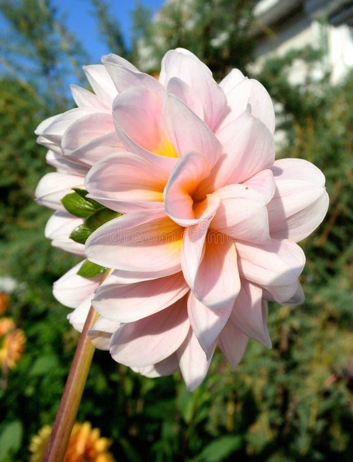 Kwiat Georgina w ogródzie obrazy royalty free