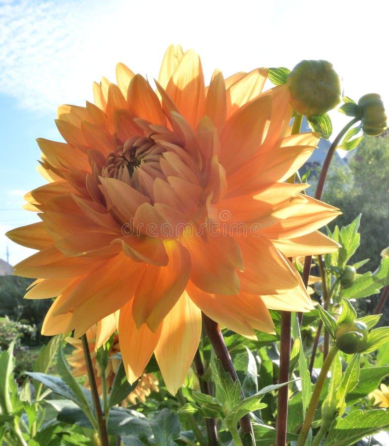 Kwiat Georgina w ogródzie zdjęcie stock