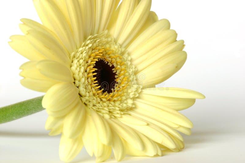 kwiat gerbera obrazy royalty free