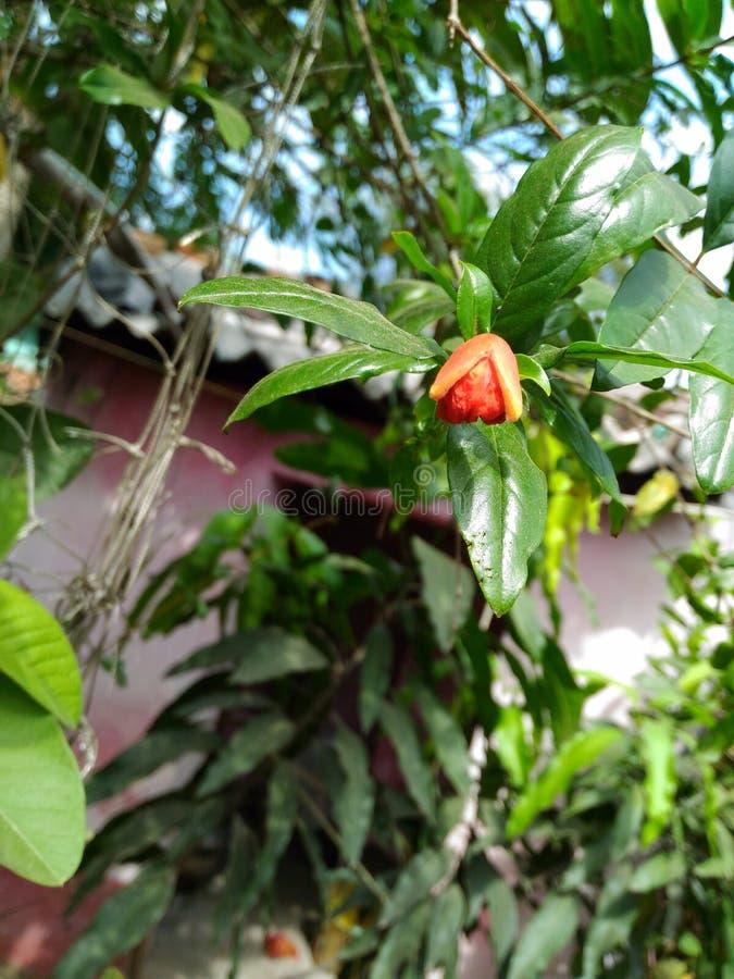 Kwiat granatowiec zdjęcie stock