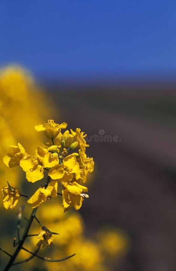 kwiat gwałt żółty fotografia royalty free