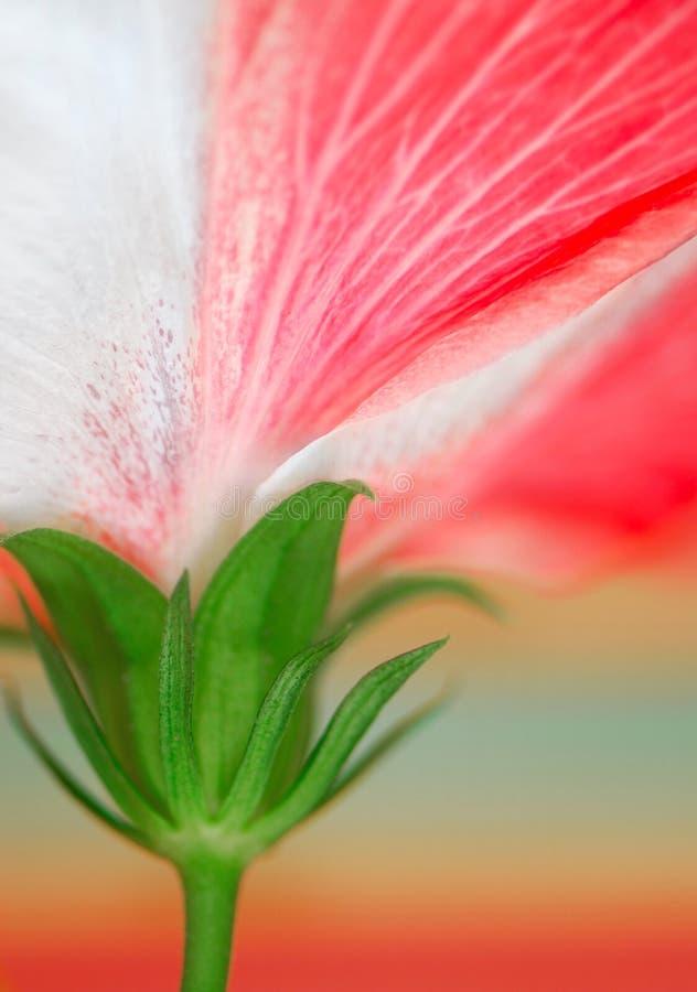 kwiat hibiskus zdjęcie royalty free