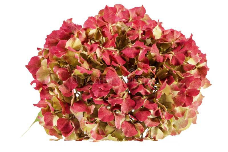 Kwiat hortensia & x28; Hortensi macrophylla& x29; odizolowywający na białym tle obrazy royalty free