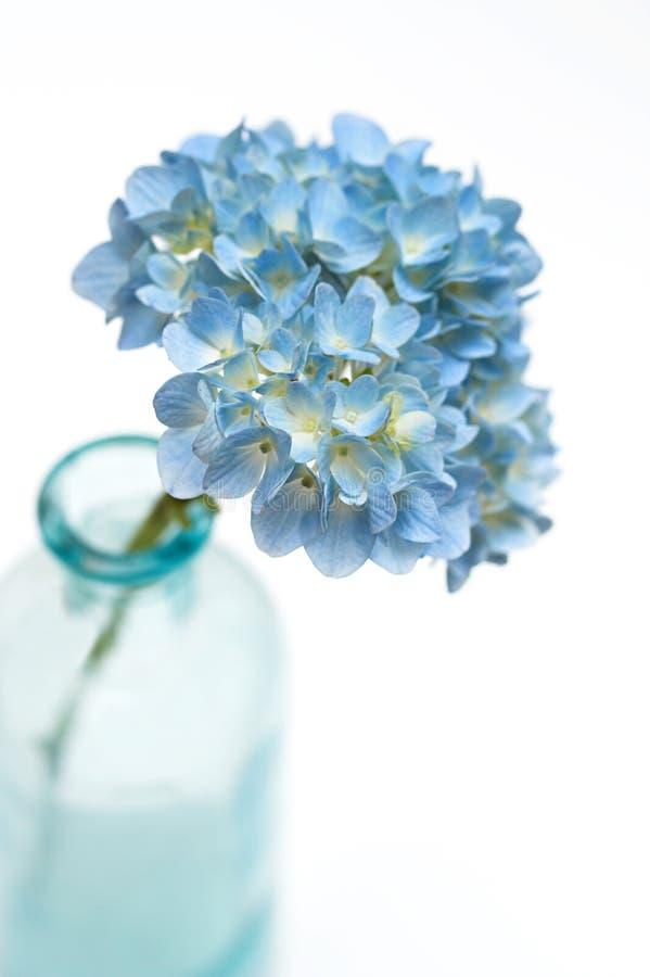 kwiat hortensji fotografia royalty free