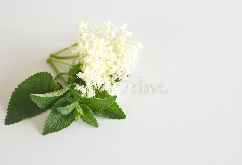Kwiat i liście elderflower na białej desce Elderberry kwiat Jagody i kwiaty używają często fotografia stock