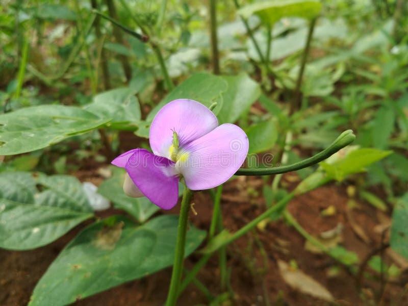 Kwiat i pasikonik mój ogród mój dom w tworzyć obraz royalty free