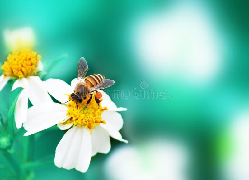 Kwiat i pszczoła z miękkiej części zamazanym tłem zdjęcia royalty free