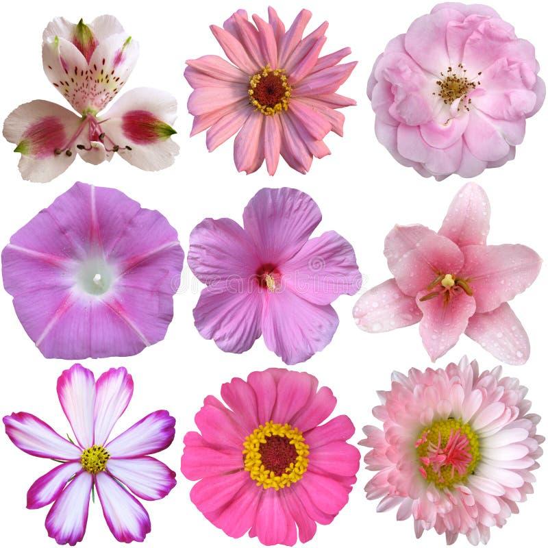 kwiat inkasowe menchie obrazy royalty free