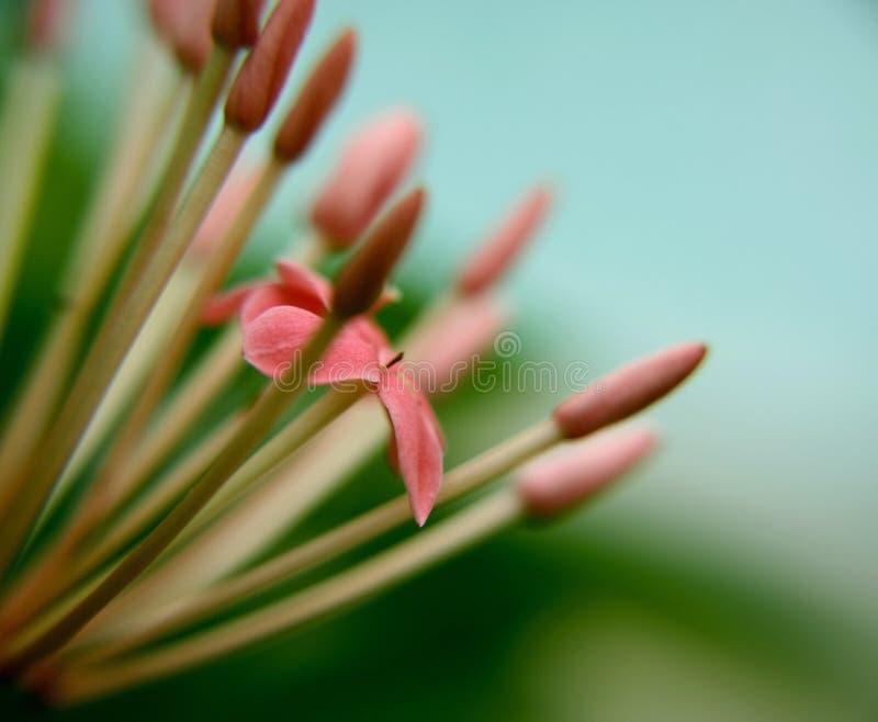 kwiat ixora fotografia stock