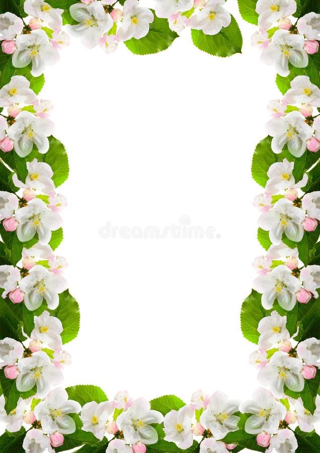 kwiat jabłczana rama obraz stock