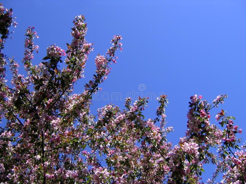 Download Kwiat Jabłkowy Wiosenne Pocztówkowy Drzewo Zdjęcie Stock - Obraz złożonej z kwiat, menchie: 141108