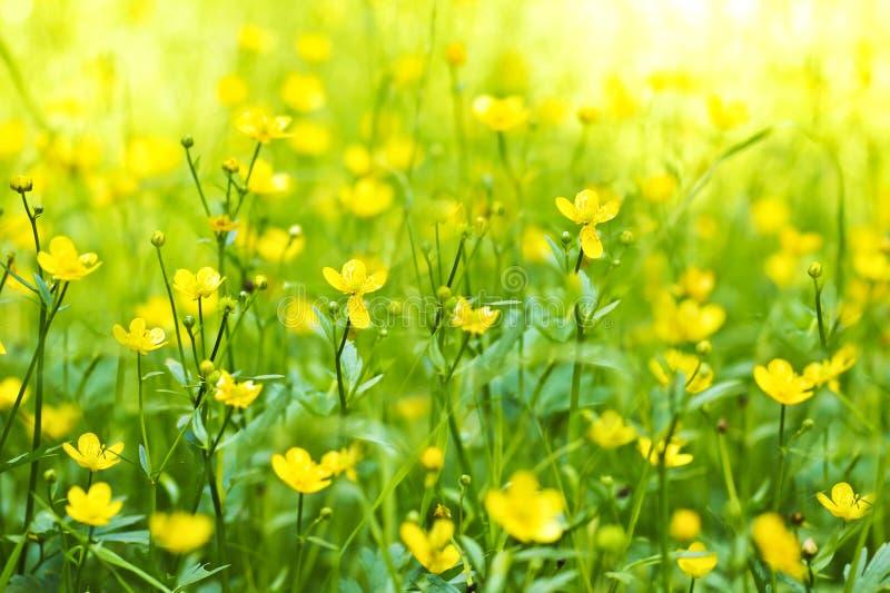 Kwiat jaskier. obrazy royalty free
