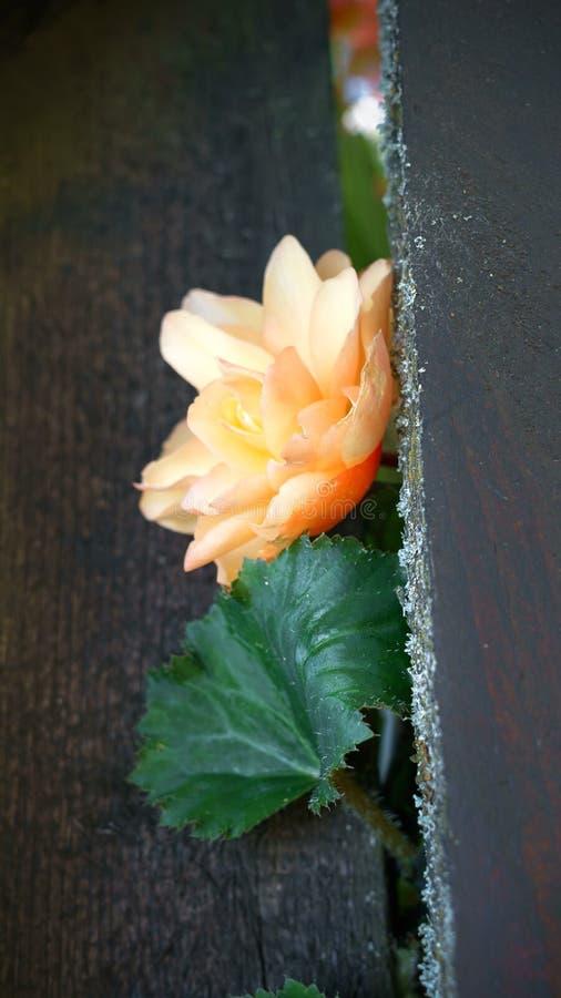 Kwiat jasnoróżowa begonia robi swój sposobowi przez ogrodzenia fotografia stock