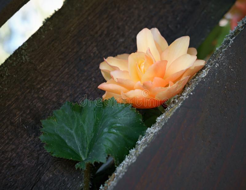 Kwiat jasnoróżowa begonia robi swój sposobowi przez ogrodzenia obrazy stock