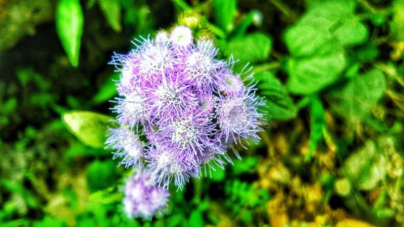 Kwiat jednakowy bawełna obrazy royalty free