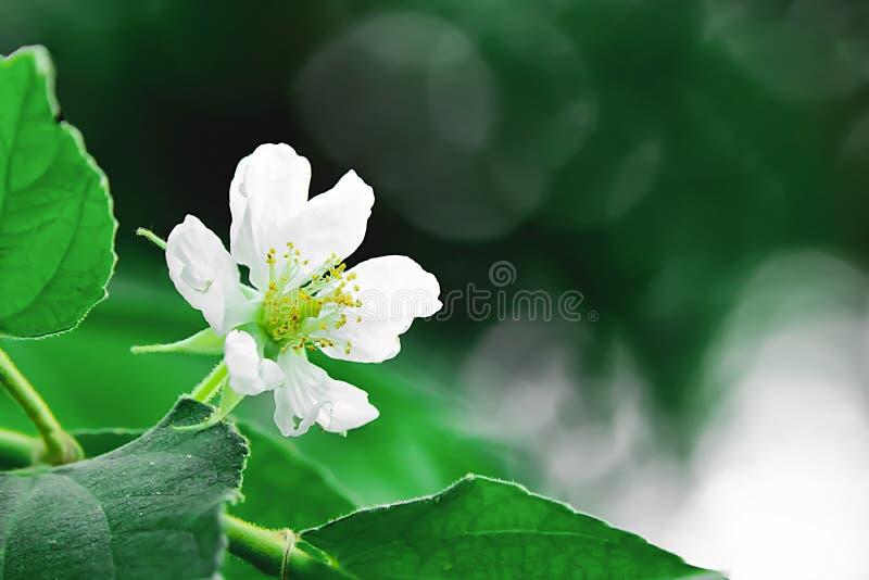 Kwiat jest kwitnąć, pokazuje swój pollen fotografia royalty free